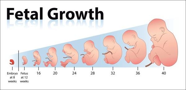 Baby growth chart in relation to abortion